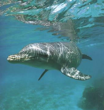 Дельфины Дельфин серебрится смайлики, картинки, фото, рисунки, gif анимации
